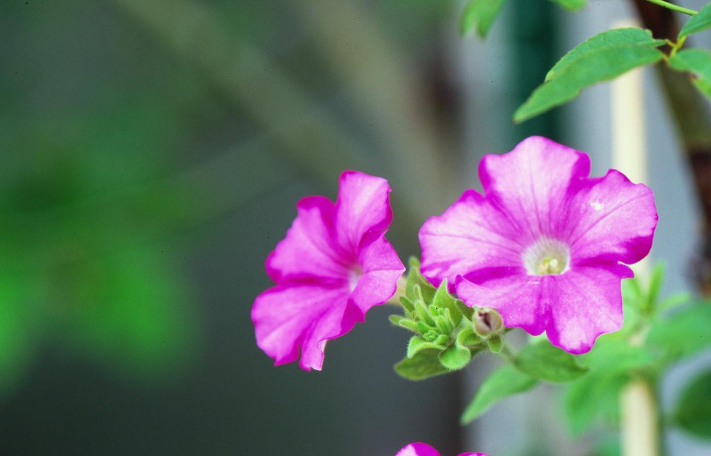 我が家の小さな花でゲソ