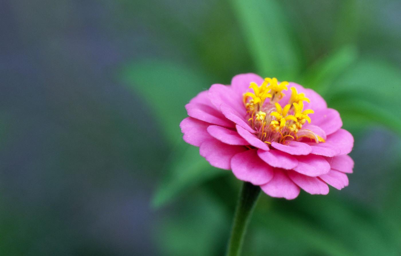 これもピンクなお花でゲソ