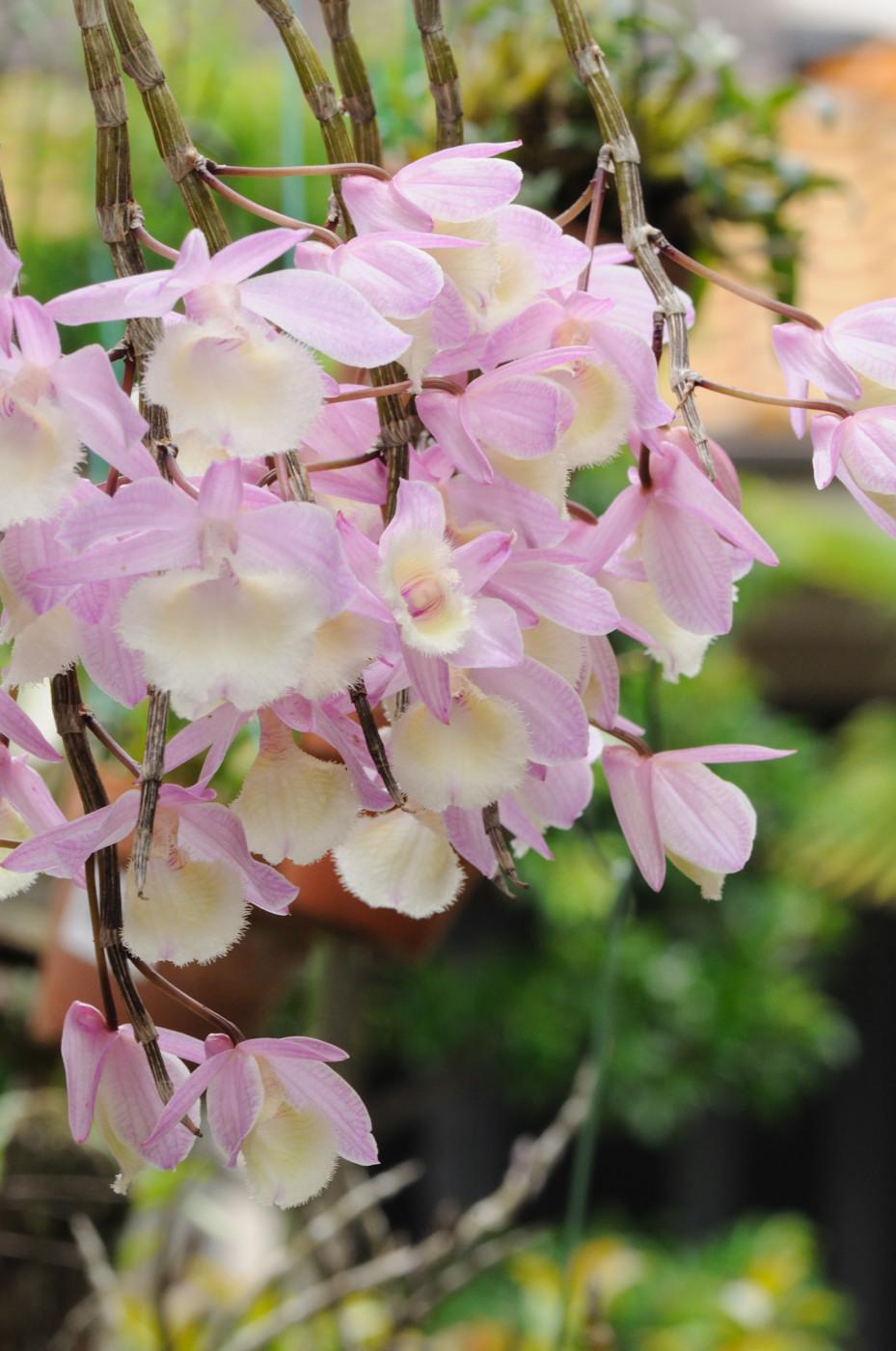 花の咲いたランでゲソ