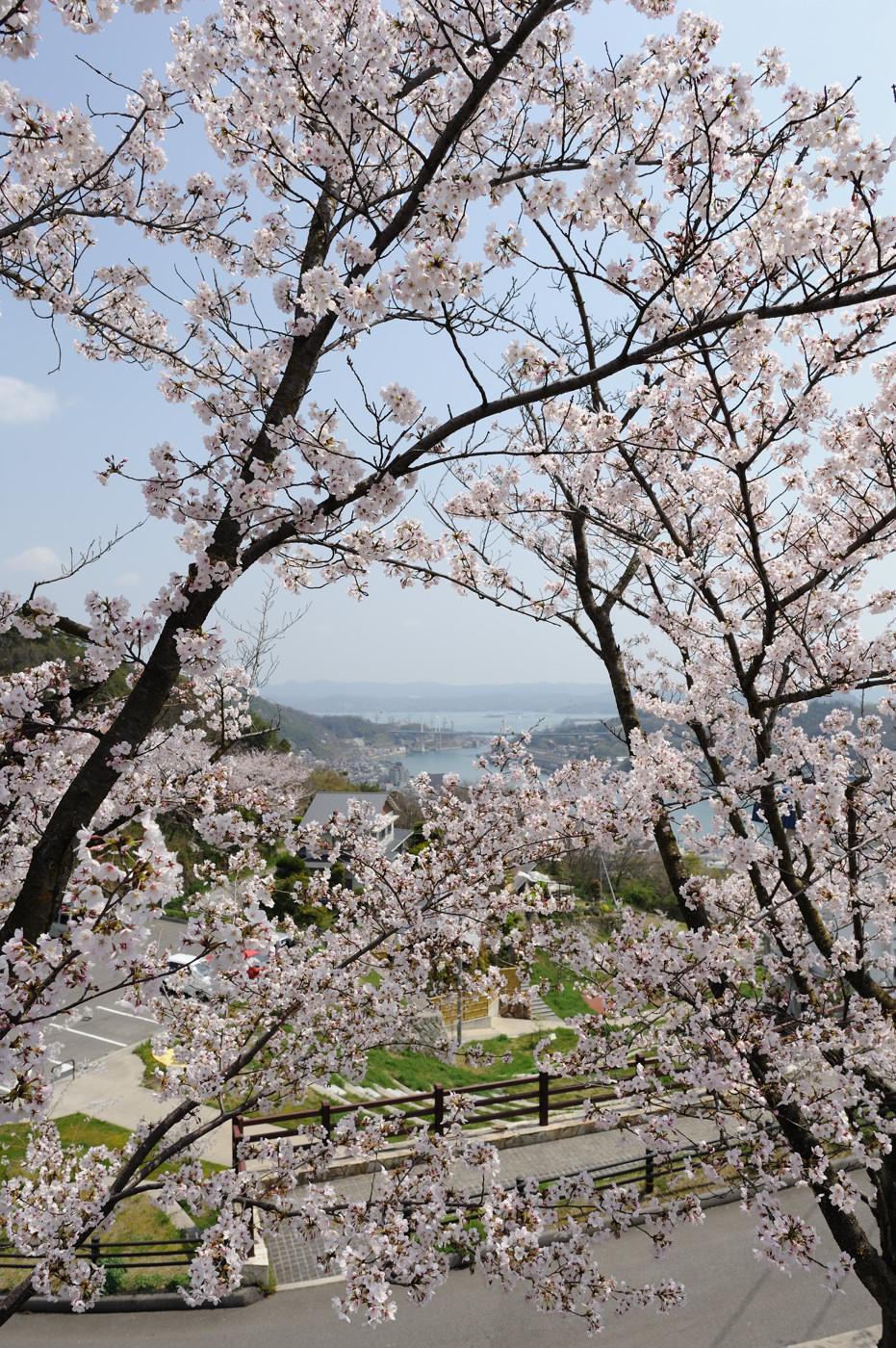 広角で桜でゲソ