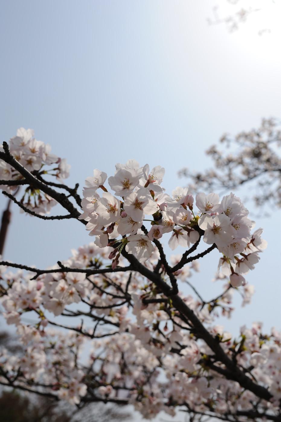 桜も逆光は勝利でゲソ