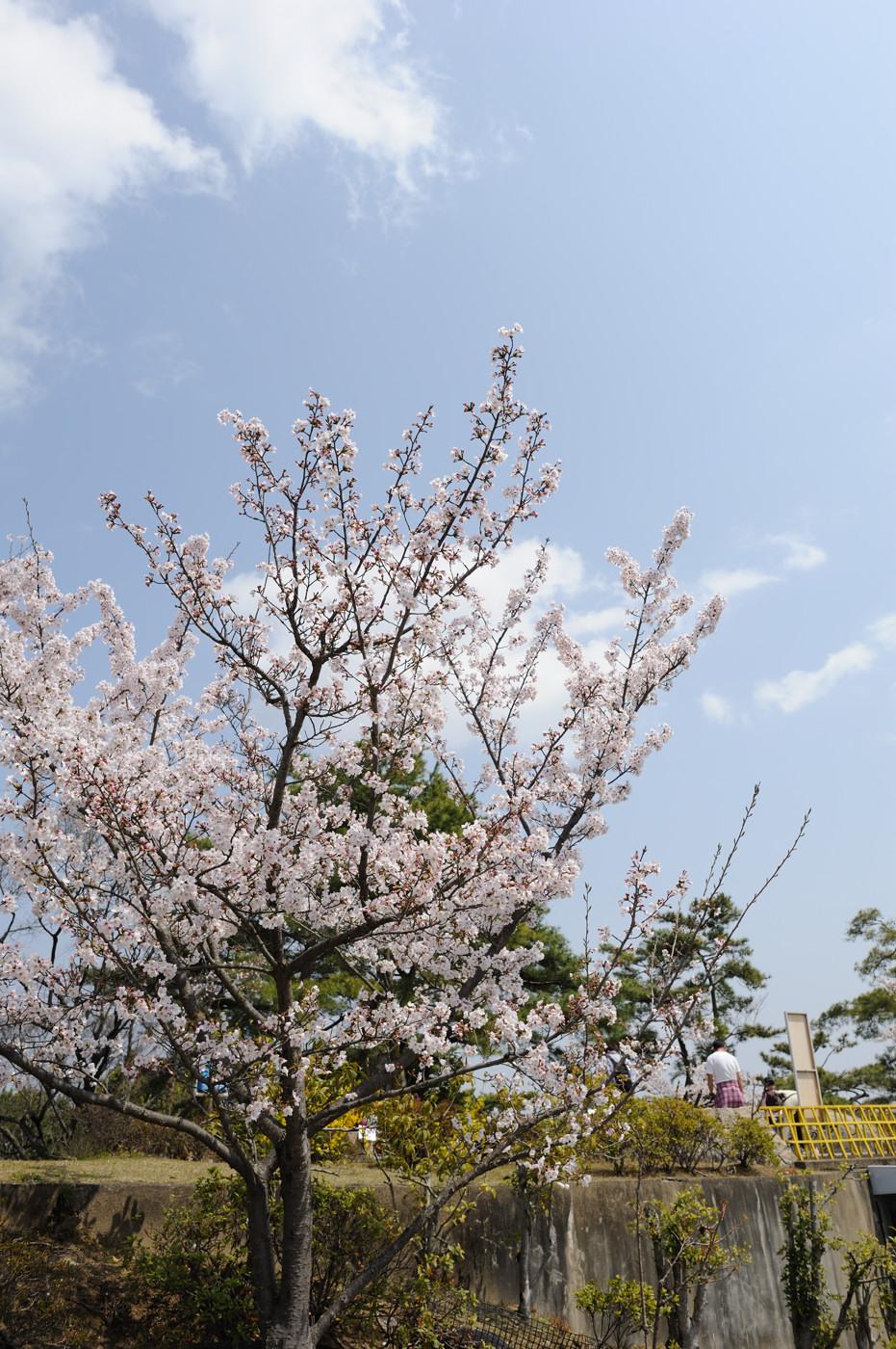 ちんまりと桜でゲソ