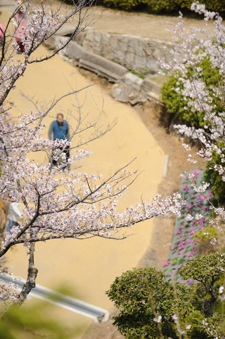 またまたネタ切れで桜でゲソ