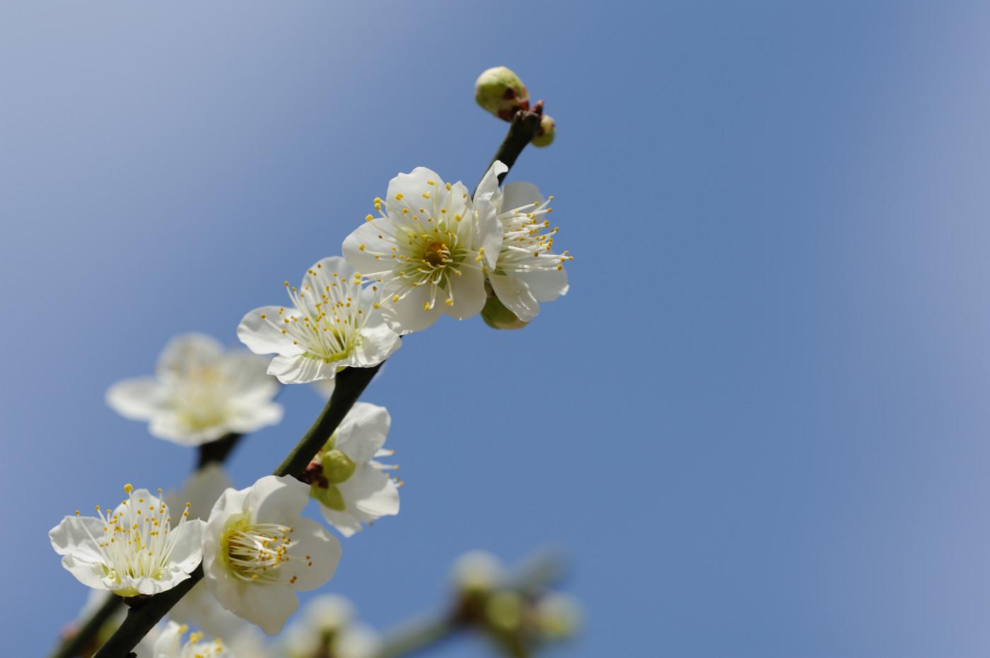 今日も縮景園の梅その2でゲソ