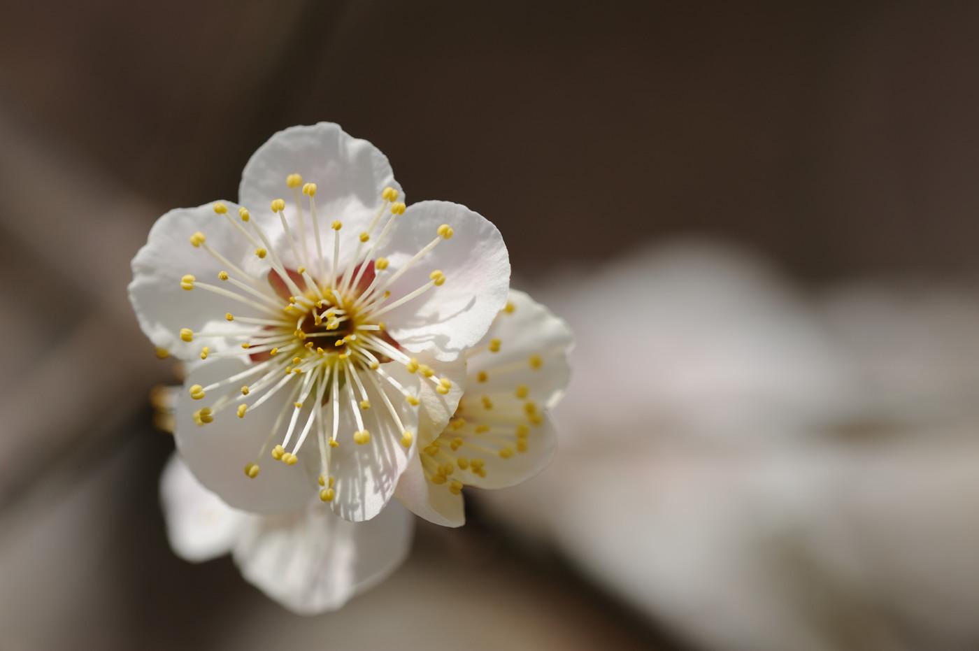 今日も縮景園の梅その3でゲソ