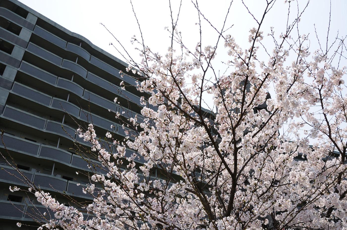 もちろん桜でゲソ
